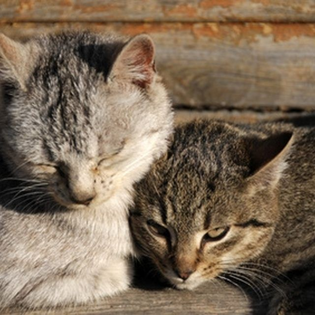 How To Get Rid Of Fleas From Cats With A Natural Home Remedy Cuteness Cat Fleas Feline Acne Cat Diseases