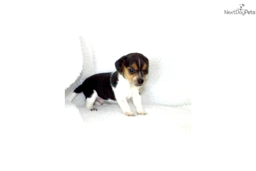 Meet Male A Cute Beagle Puppy For Sale For 900 Cody Pocket Beagle Cute Beagles Beagle Pocket Beagle