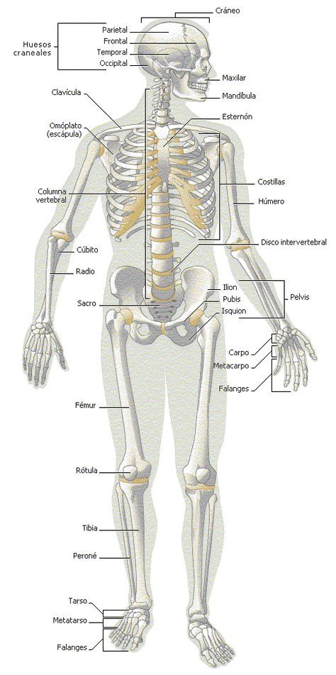 Sistema oseo   js   Pinterest   Anatomía, Medicina y Enfermería
