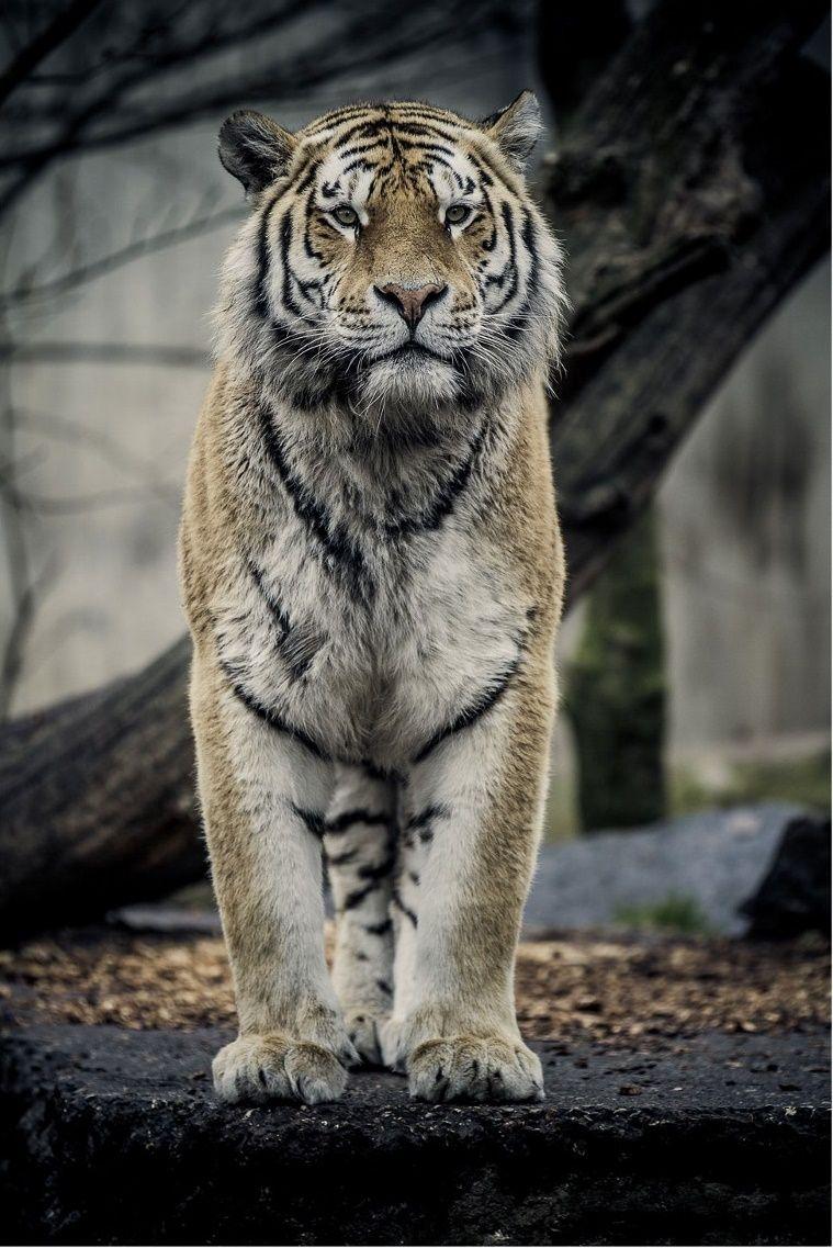 0ce4n G0d Tiger By Jakob Nordmann Tiere Wild Wilde Tiere Tiere