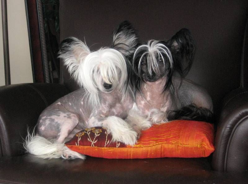 Chinese Crested Dogs Chinese Crested Dog Chinese Crested Puppy