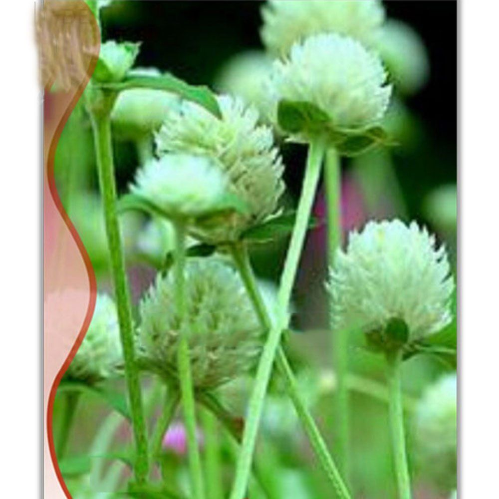 Amazon Best Garden Seeds Professional White Flower Gomphrena