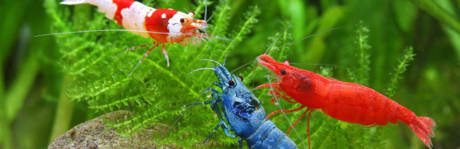 The Shrimp Tank Freshwater Invertebrates For Sale Freshwater Aquarium Supplies The Shrimp Tank Shrimp Tank Aquarium Supplies Freshwater Aquarium