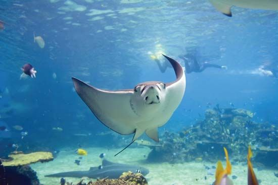 stingray in the great barrier reef off the coast of queensland australia underwater. Black Bedroom Furniture Sets. Home Design Ideas