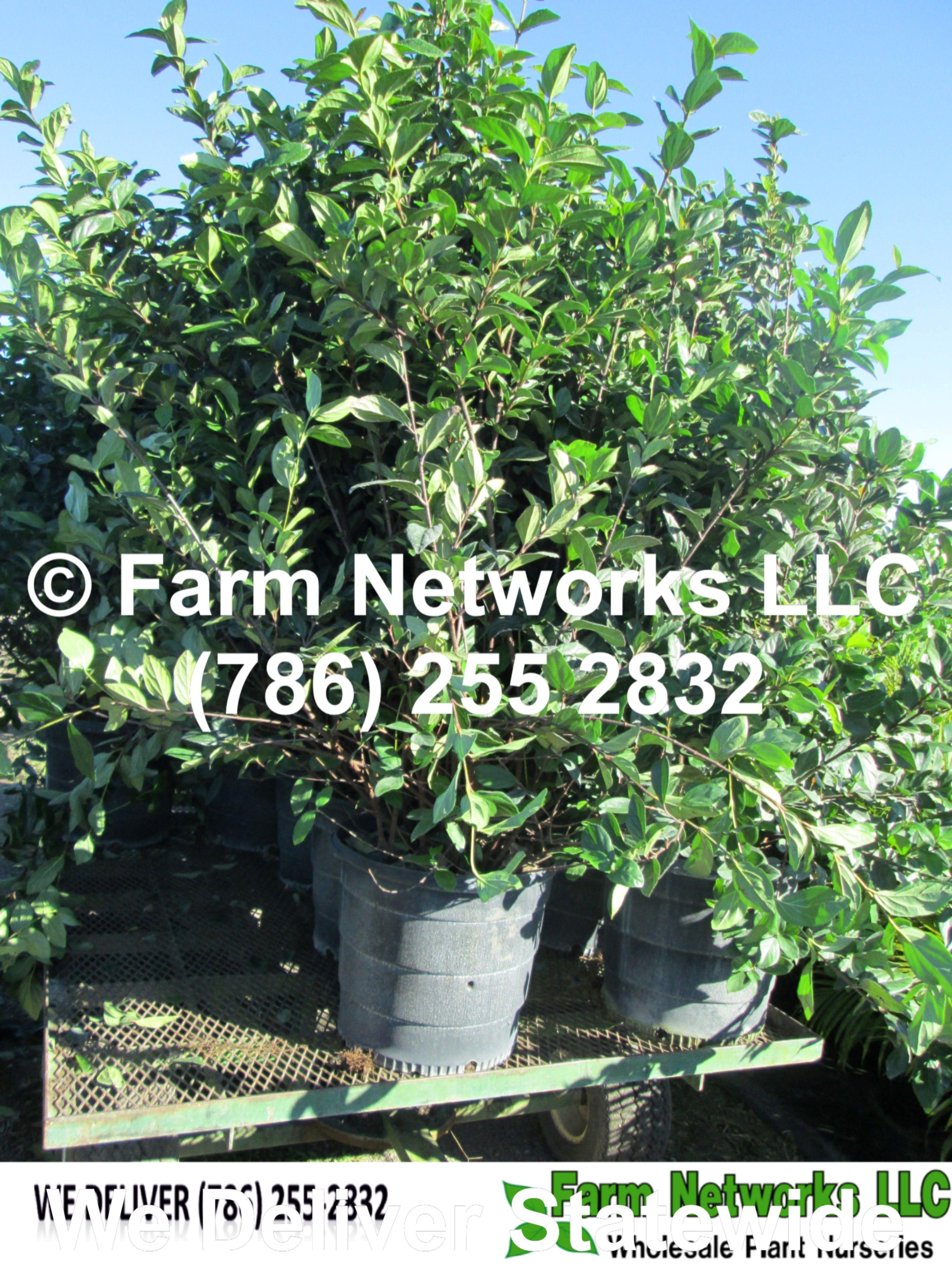 Fort Myers Nursery Green Houses 7 Gallon Viburnum Suspensum