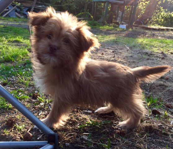 Male Morkie Dogs Puppies For Rehoming Ottawa Kijiji