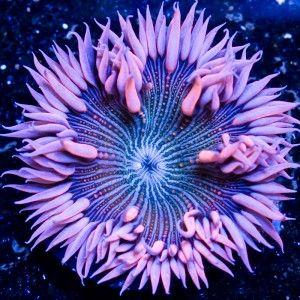 Pink Zebra Rock Flower Anemone From Aqua Scapers 89 Beautiful Sea Creatures Ocean Creatures Sea And Ocean