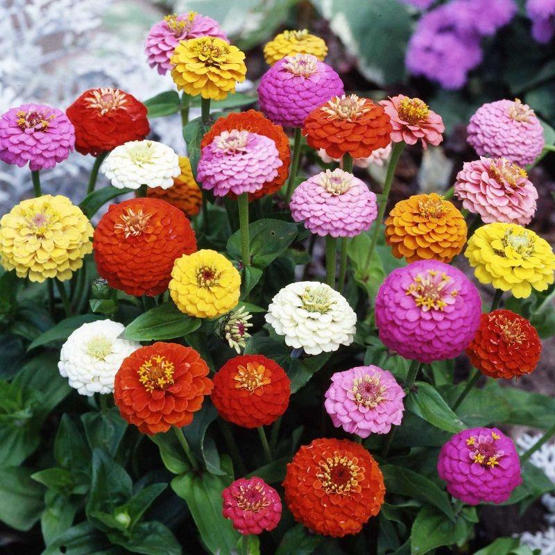Zinnia Seeds Sprite Mix Flower Seeds In Packets Bulk Eden Brothers Flower Seeds Zinnias Flowers