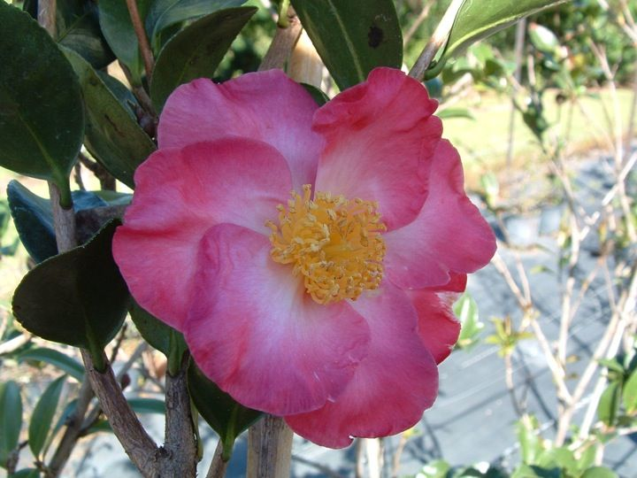 Camellia Sasanqua Fukuzutsumi Japonica Camellia Species