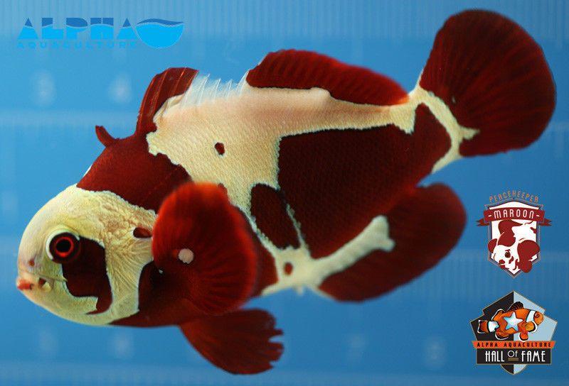 Peacekeeper Maroon Clownfish Clown Fish Tropical Fish Dinosaur Stuffed Animal