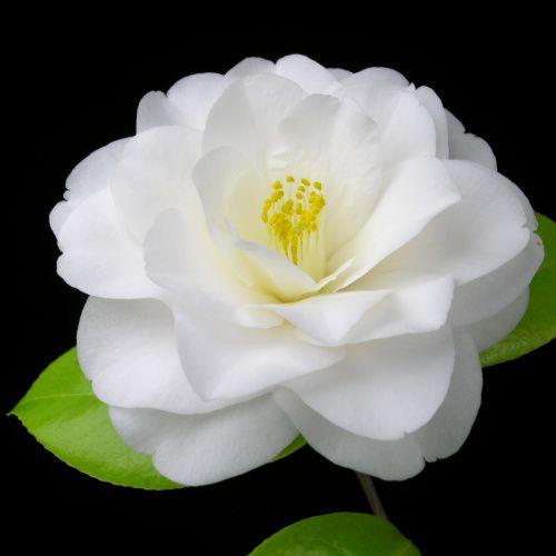 Camellia Japonica Toki No Hagasane Japan 1879 Pretty Flowers Camellia Flower Beautiful Flowers