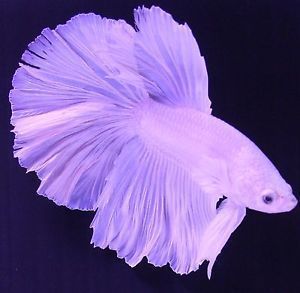 Betta breeders white halfmoon pair male and female live for Betta fish for sale online