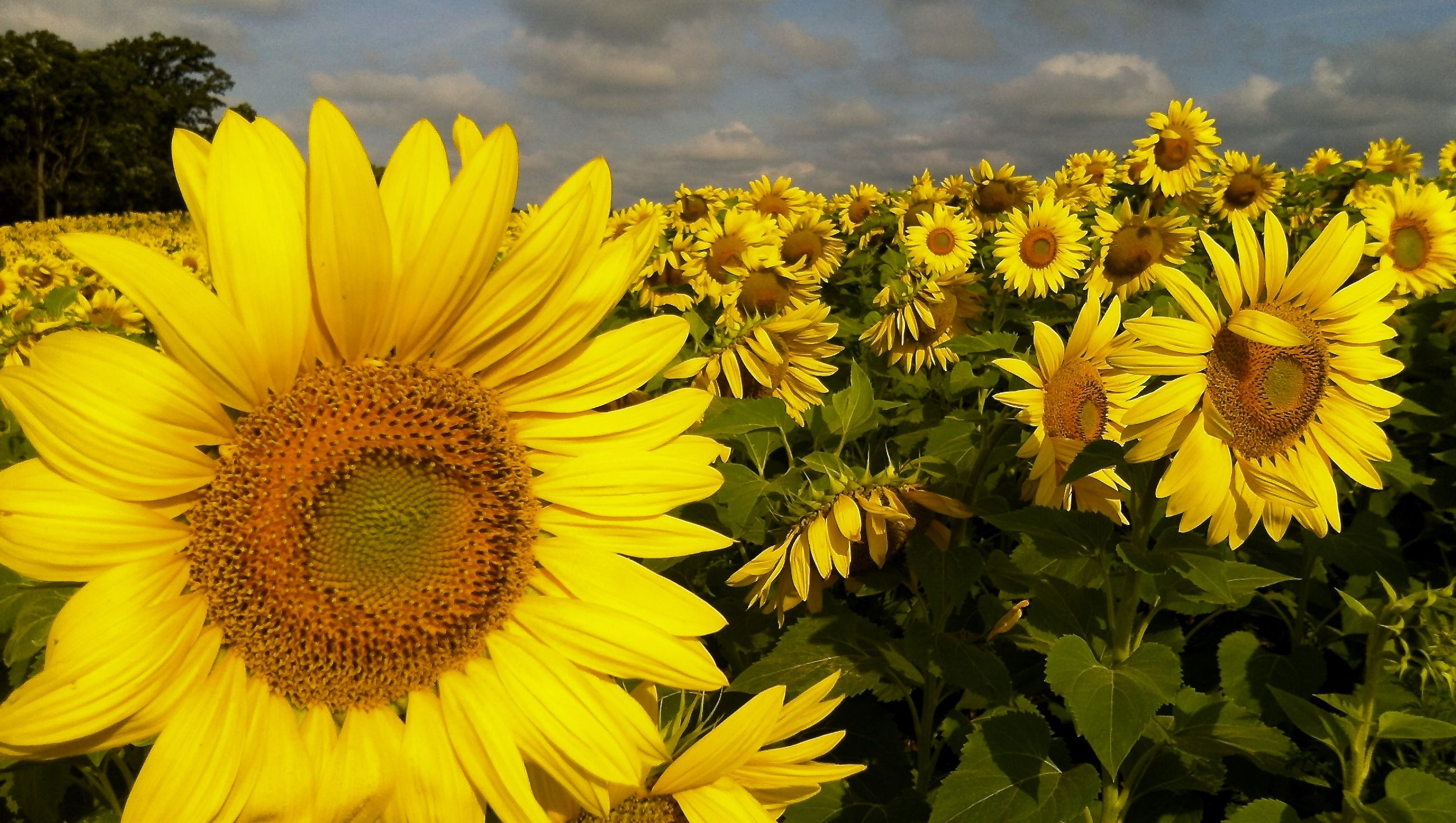 Sunflowers.......the epitome of Happiness :)