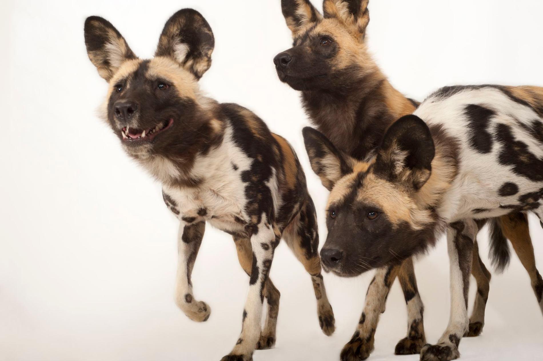 African Wild Dog Wild Dogs African Wild Dog African Hunting Dog