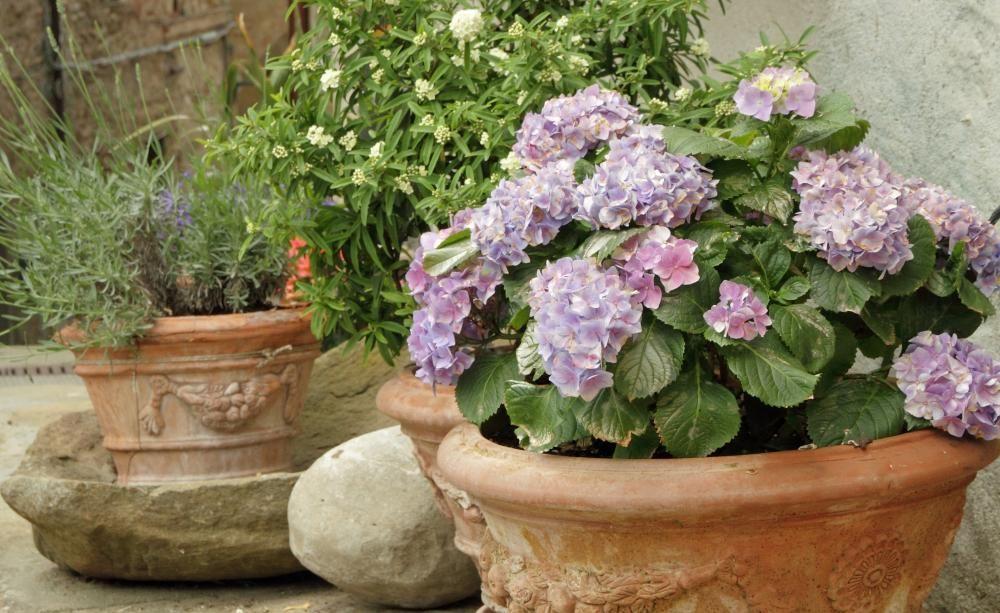 Hortensien Im Topf Pflanzung Und Pflegetipps Hortensien Bepflanzung Pflanzen