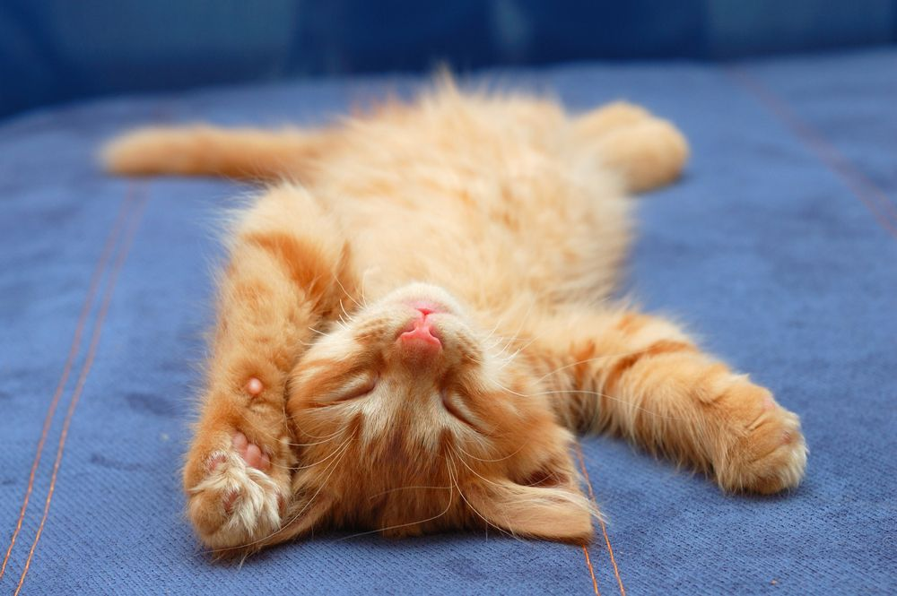 Why Do Cats Purr Sleeping Kitten Why Do Cats Purr Cute Animals Images