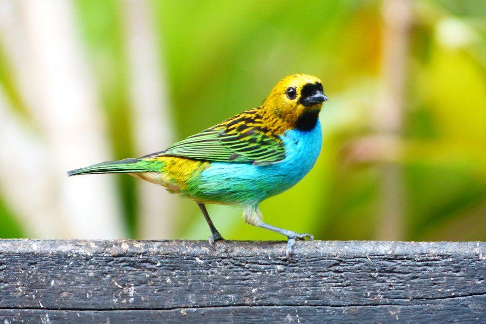 Sete cores - Seven colors bird