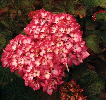 Hydrangea macrophylla Hovaria Hopaline (classic rood)