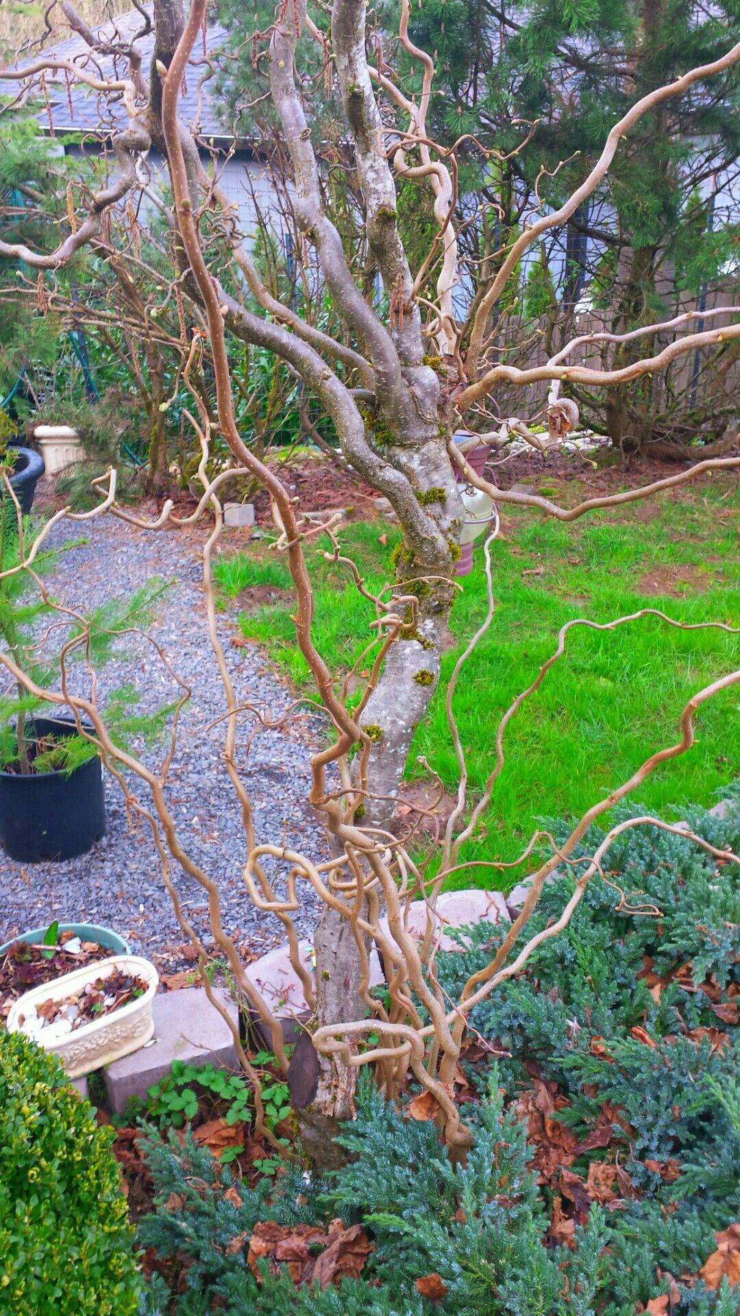 Harry lauder walking stick trees - Harry Lauder S Walking Stick Tree