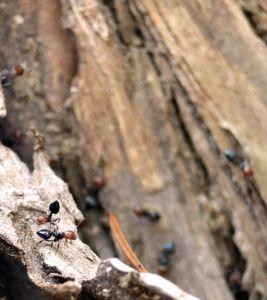 Crematogaster Scutellaris - ant