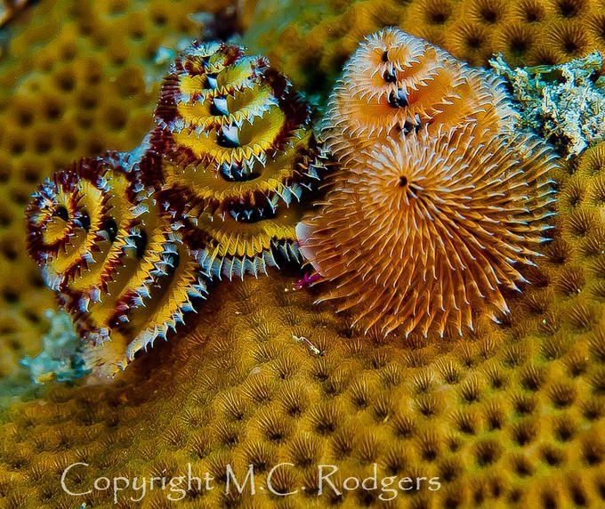 Christmas Tree Worms Sea Creatures Sea Life Marine Life