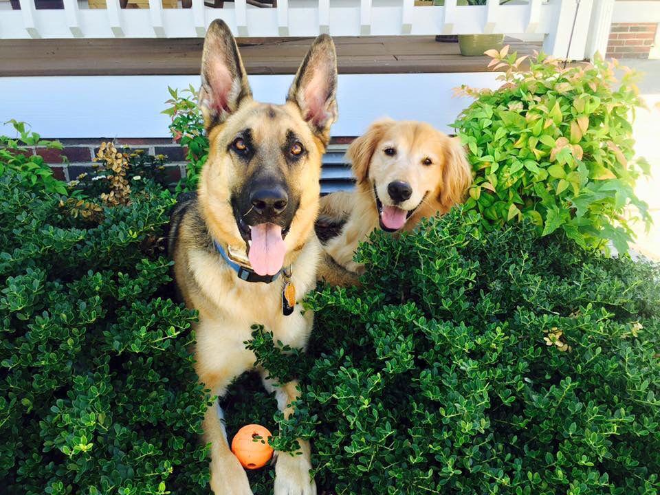 Golden Retrievers And German Shepherds Make Best Friends