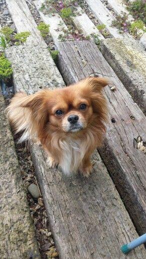King Charles Spaniel Chihuahua Mix : charles, spaniel, chihuahua, Chilier, Cavalier, Charles, Spaniel, /Chihuahua, Hybrid, Animals,, Breeds,, Puppies