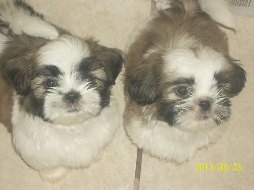 Aca Shih Tzu Puppies Shih Tzu Puppy Puppies And Kitties Shih Tzu