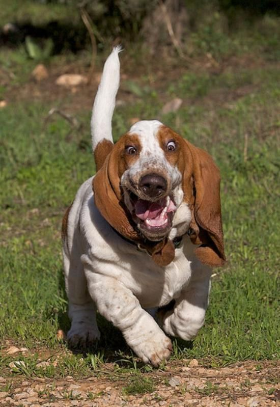 Hahaha! Our basset hound looks like this when she runs too.
