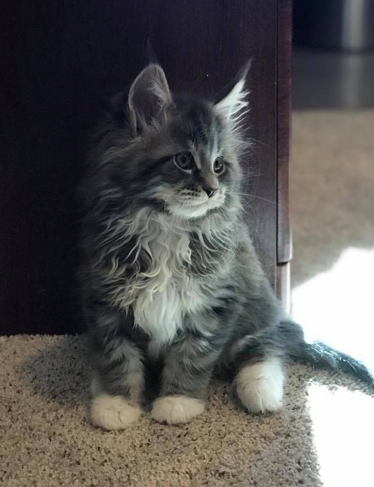 Harry Potter of Colorado Maine Coons | Maine coon, Norwegian