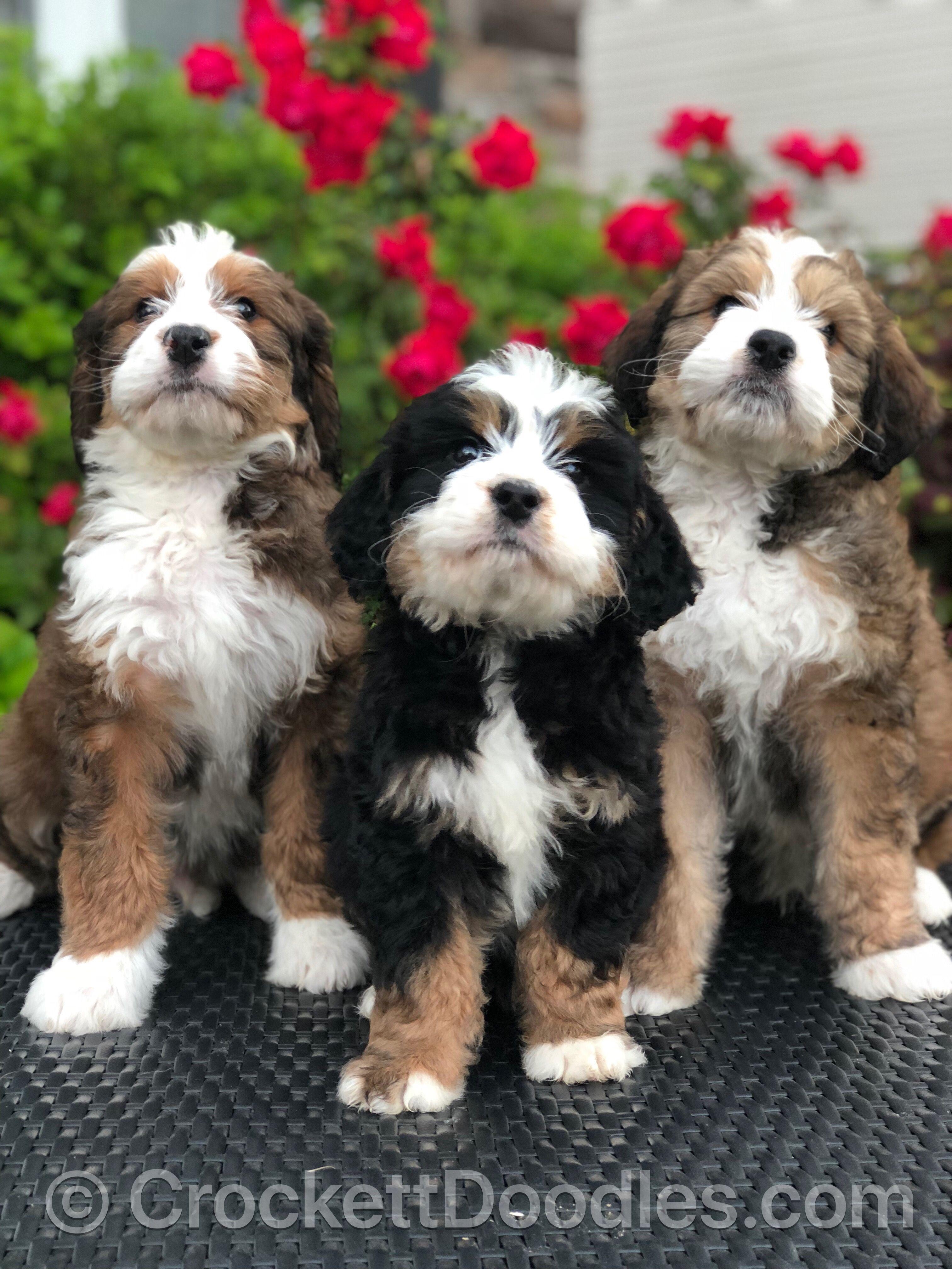 Tricolor Bernedoodles Bernedoodle Puppy Bernadoodle Puppy Bernedoodle