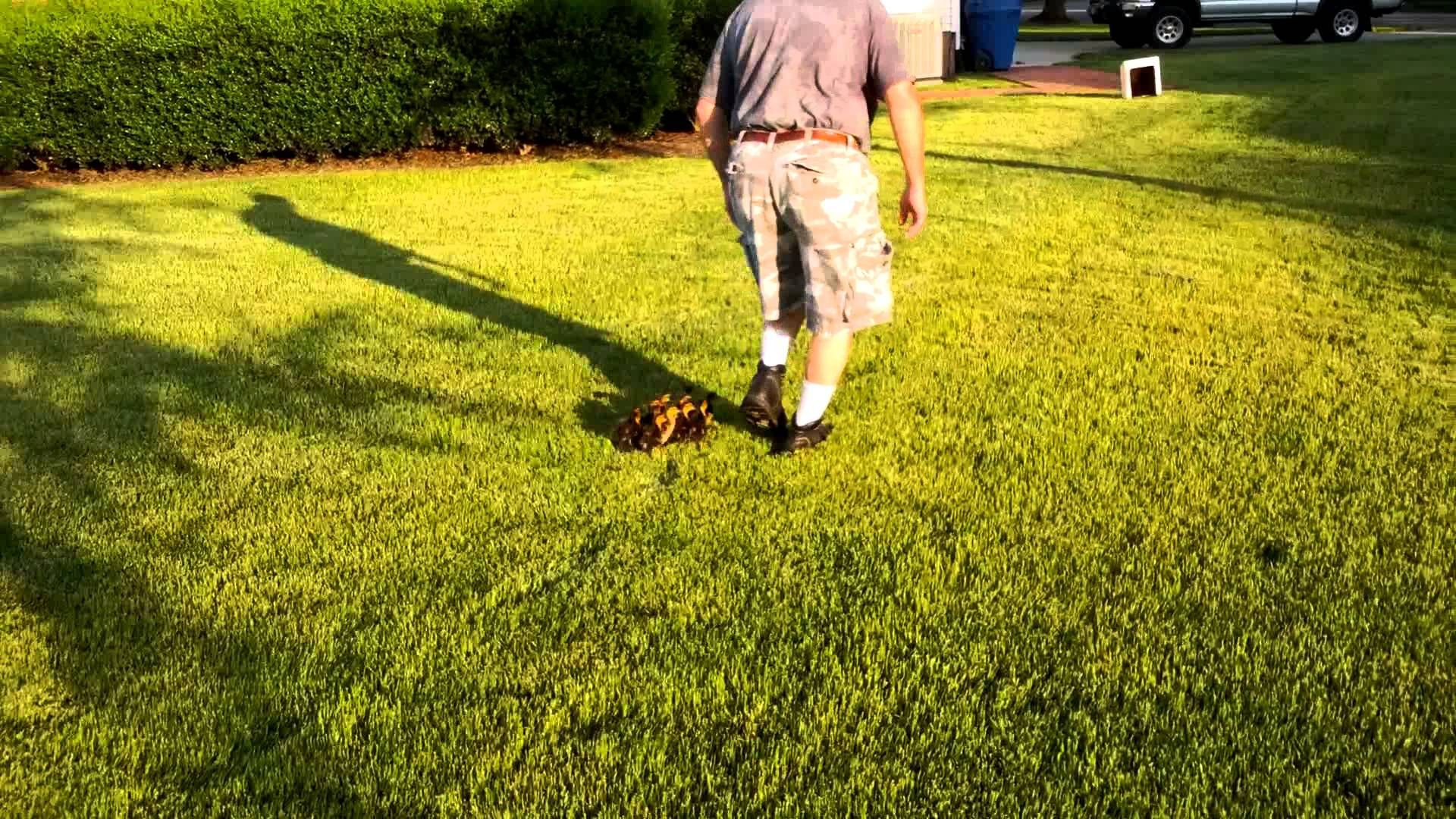 13 Ducklings Adopt The Compassionate Man Who Saved Them And Think of Him as Mom