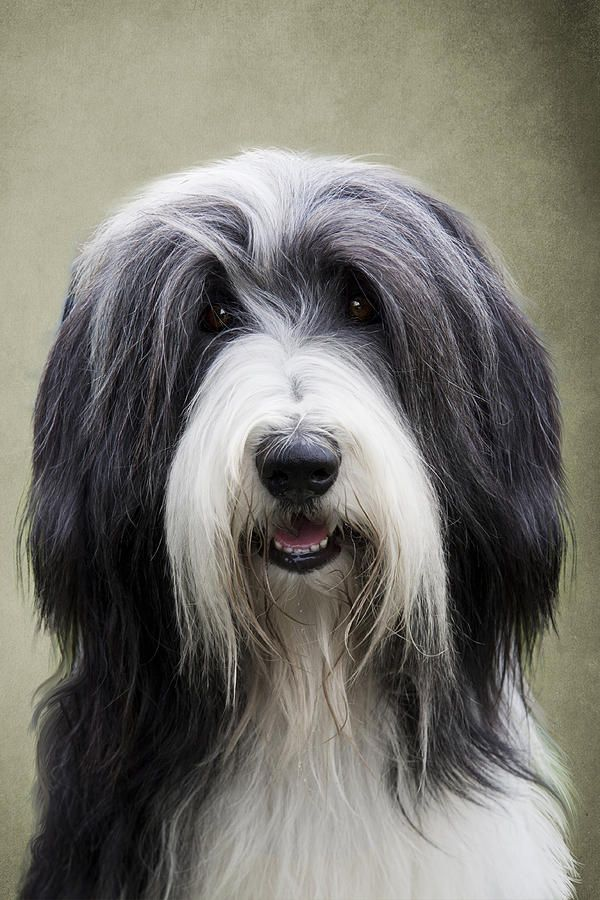 Bearded Collie With Beautiful Expression Very Classic Bearded Collie Collie Dog Dog Breeds