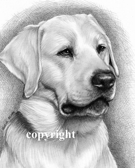 Yellow Labrador Retriever Portrait Pencil Drawing Malovani Zvirat