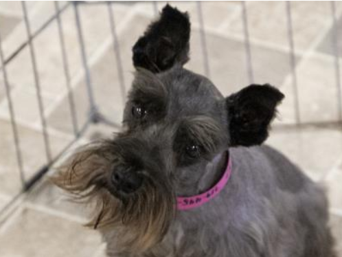Species Dog Breed Schnauzer Miniature Age 4 Years 9 Months 17 Days Gender Female Size Medium Color Black Site National Mil Rescue Dogs Pet Adoption Dogs