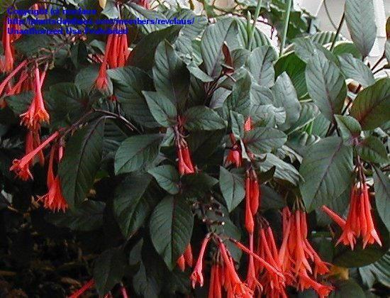Fuchsia Gartenmeister Bonstedt Heat Tolerant Hummingbird Magnet Lower Midwest Mississippi Valley Fuchsia Planter Boxes Plants