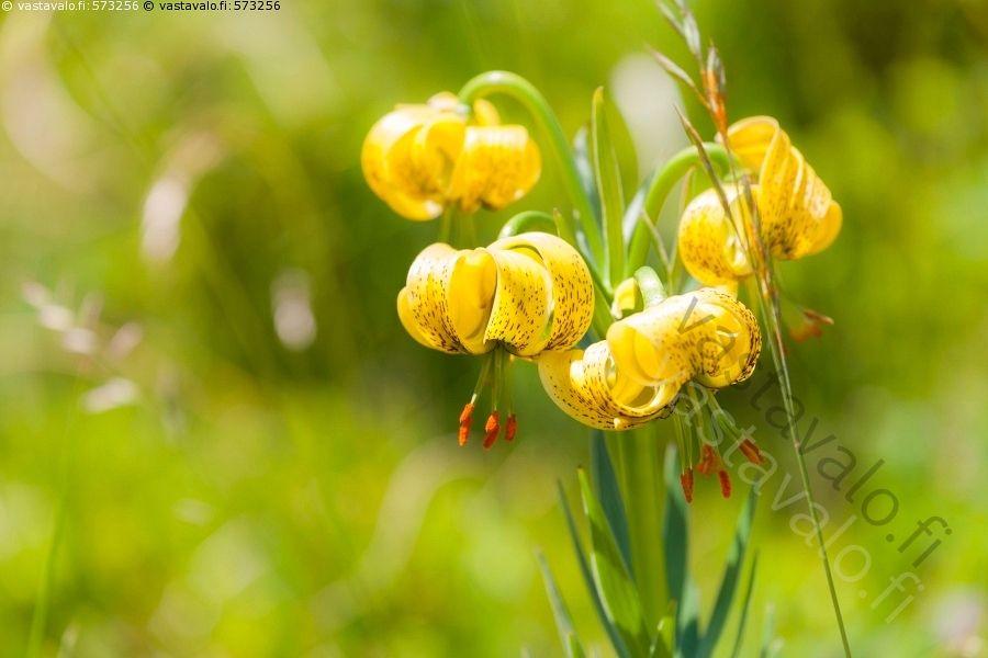 Lilium pyrenaicum - Lilium pyrenaicum lilja liljakasvi keltainen täplikäs kukka…