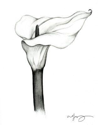 calla lilies drawing calla lily drawing
