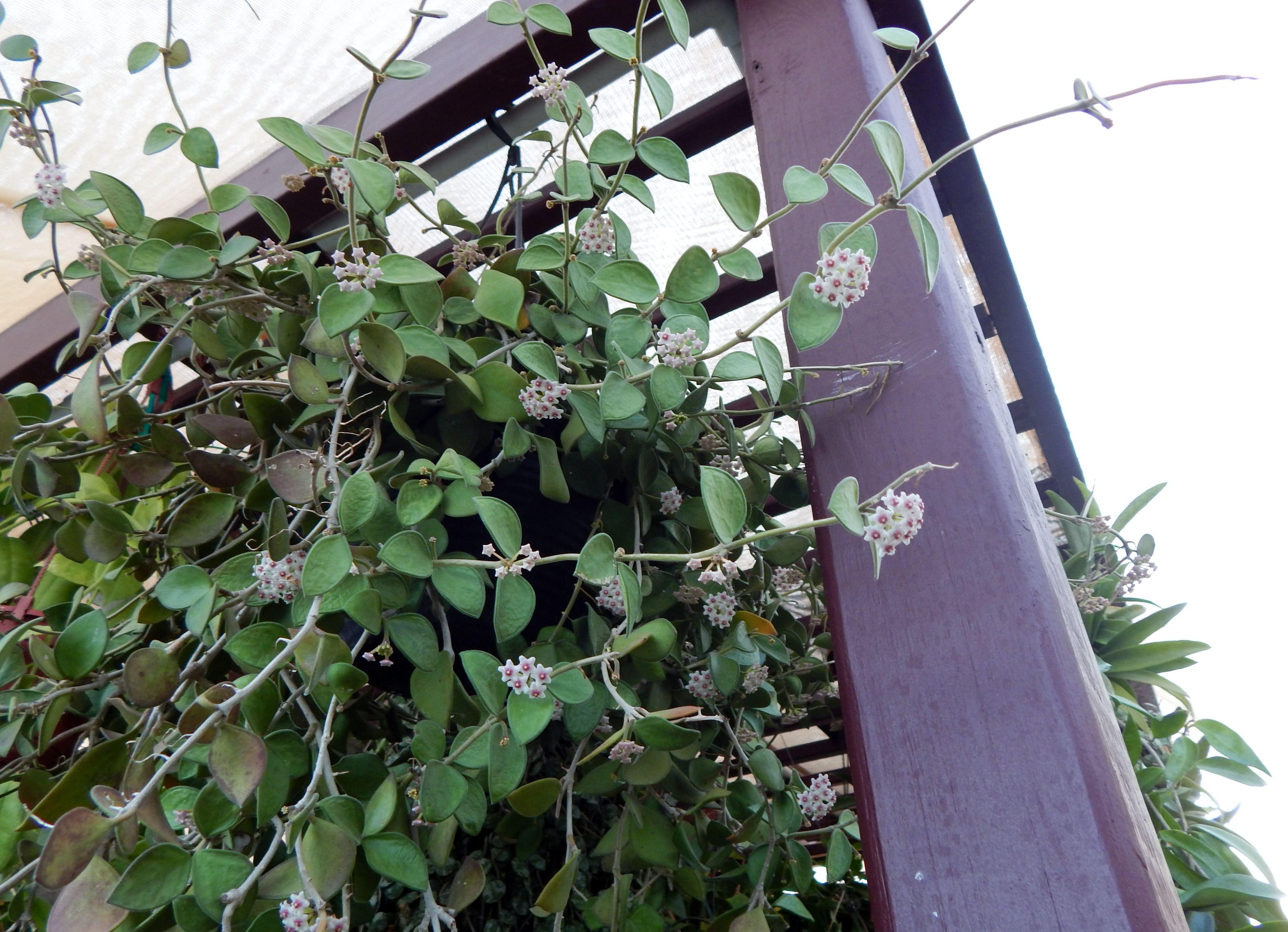 Hoya nummulaoides