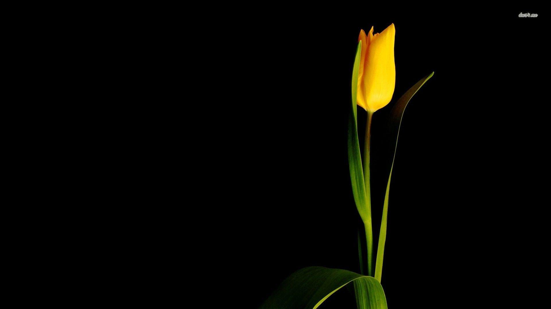 Yellow Tulip Wide Desktop Background Wallpapers HD Free