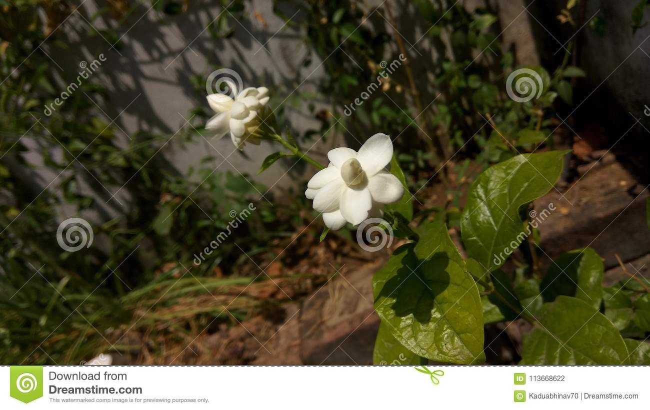 Photo About Lovely Jasmine Flowers From The Garden Under The Bright