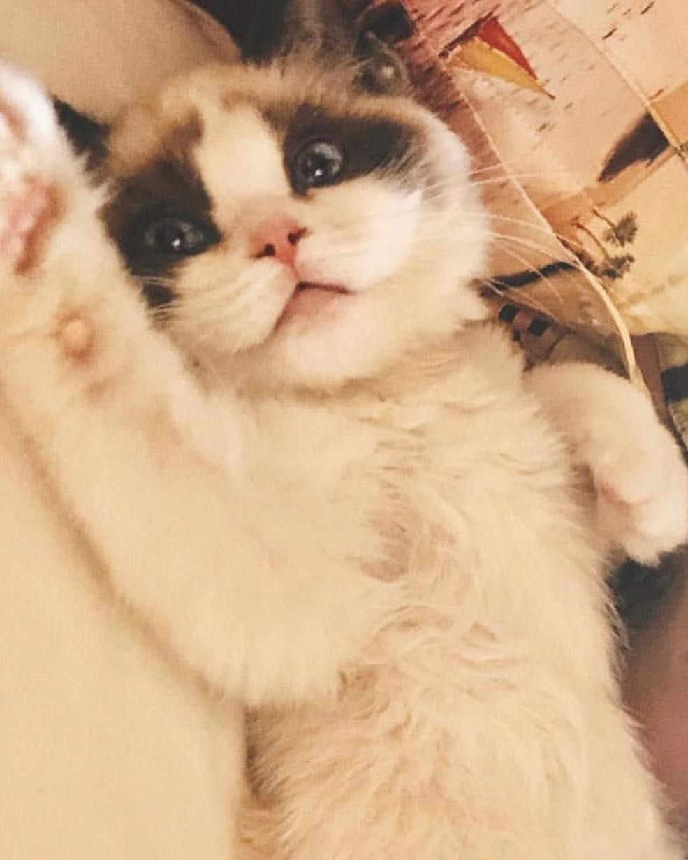 If Humans Could Birth Pets This Would Come Out Of Taylor For Sure Most Beautiful Eyes Omg Such A Soft Looking Cre Taylor Swift Cat Taylor Cute Cats