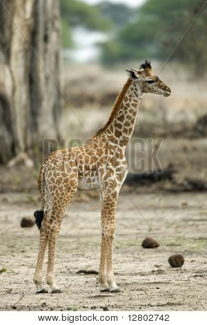 Young giraffe in the Serengeti, Tanzania, Africa Poster