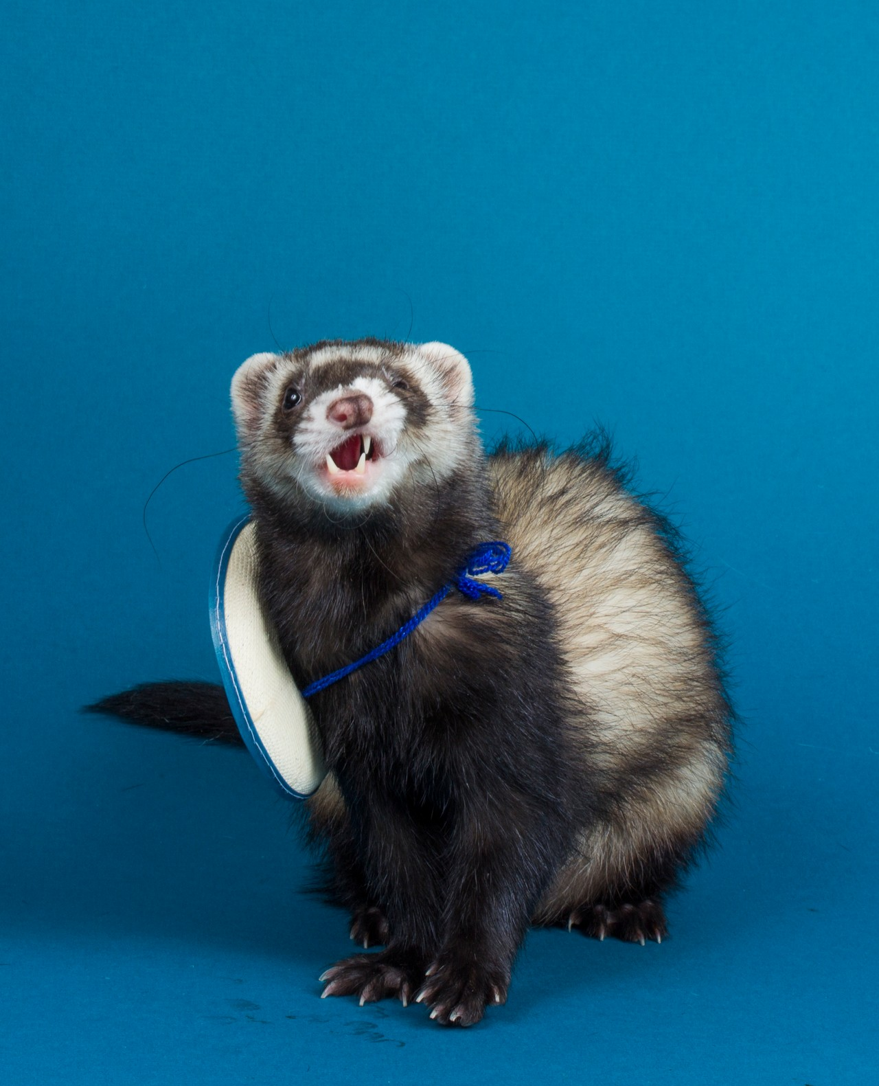 Pin by Leeandra John on Pet ferret Ferret, Cute ferrets