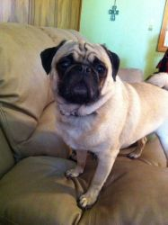 Adopt Cosmo On Fawn Pug Dogs Pugs