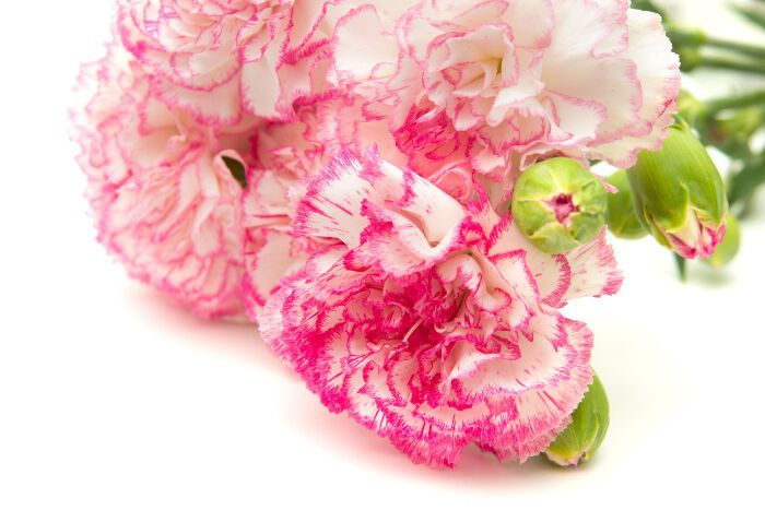 Express Your Love With Carnations Carnation Flower Meaning Flower Meanings Carnation Flower