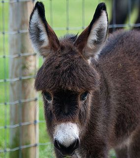 Mr Frodo Is Even More Cute Than This One Miniature Donkey Male Horse Donkey