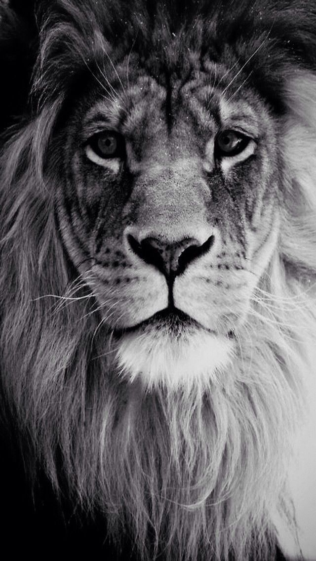 Lion Wallpaper Zedge