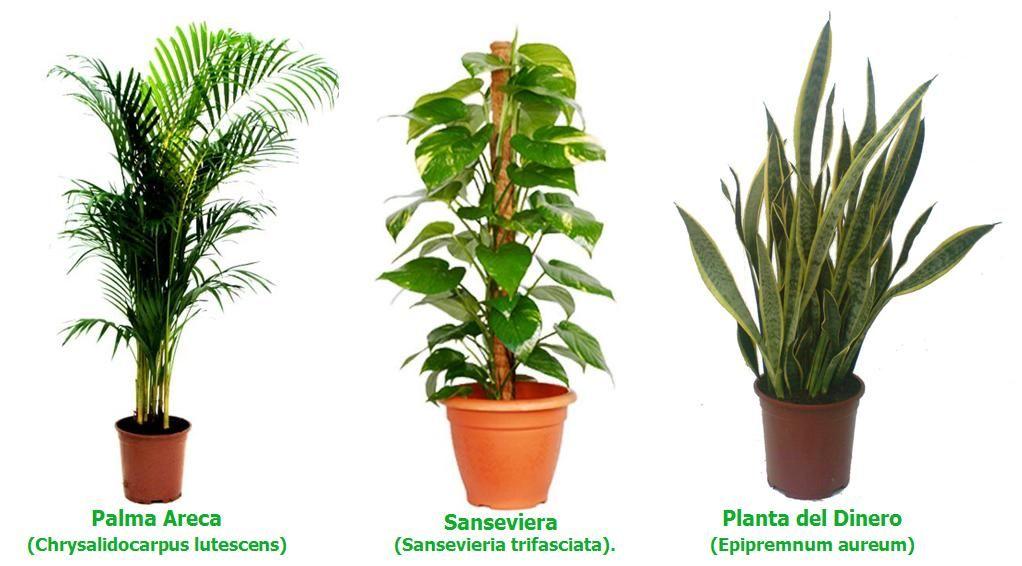 Plantas garden pinterest sansevieria trifasciata - Clases de plantas de interior ...