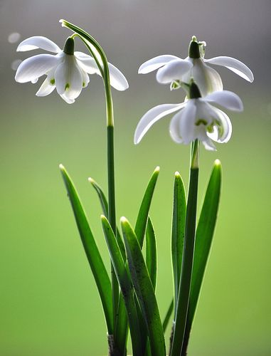 Snowdrops Birth Month Flowers January Flower January Birth Flowers